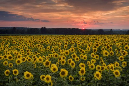 Taps over Sunflowers by Michael Blanchette Photography art print