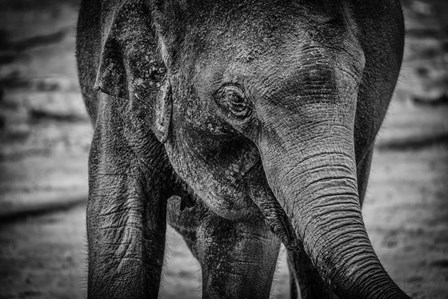 Young Elephant Black & White by Duncan art print