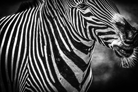 Zebra Black & White by Duncan art print