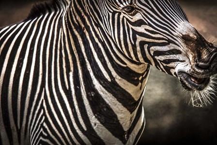 Zebra by Duncan art print