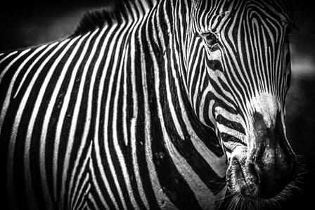Zebra II Black & White by Duncan art print
