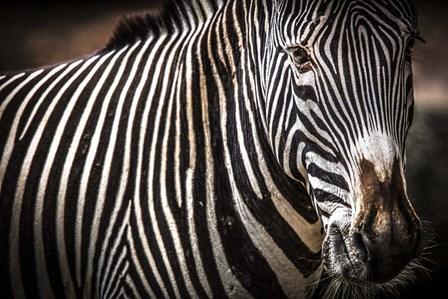 Zebra II by Duncan art print