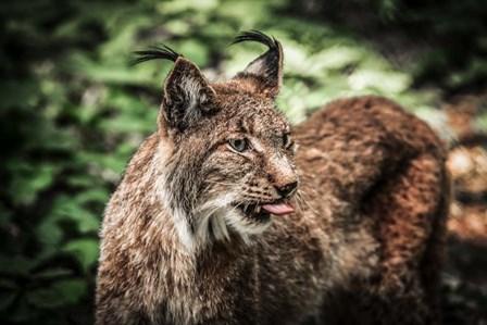 Lynx Tonque by Duncan art print