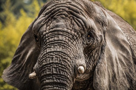Elephant Front by Duncan art print