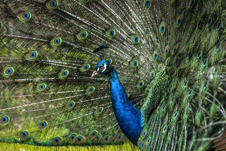 Peacock Showing Off by Duncan art print