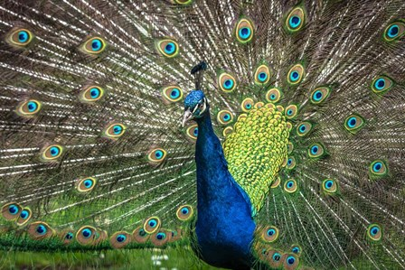 Peacock Showing Off II by Duncan art print