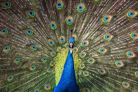 Peacock Showing Off Close Up by Duncan art print