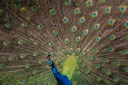 Peacock Showing Off IV by Duncan art print