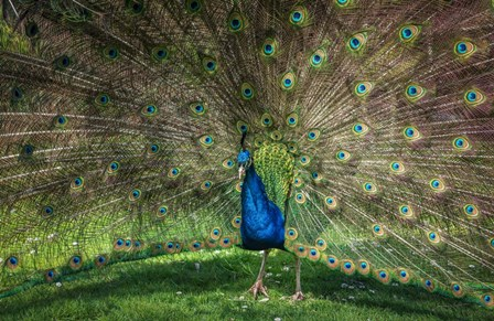 Peacock Showing Off V by Duncan art print