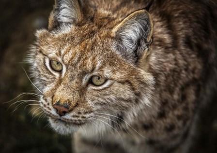 Lynx Close Up by Duncan art print